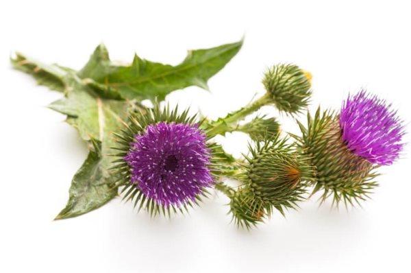 sikavica-biljka