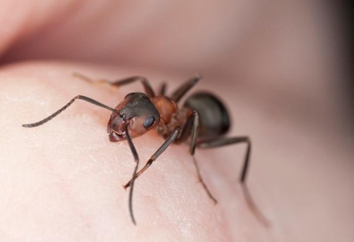ujed mrava na coveku