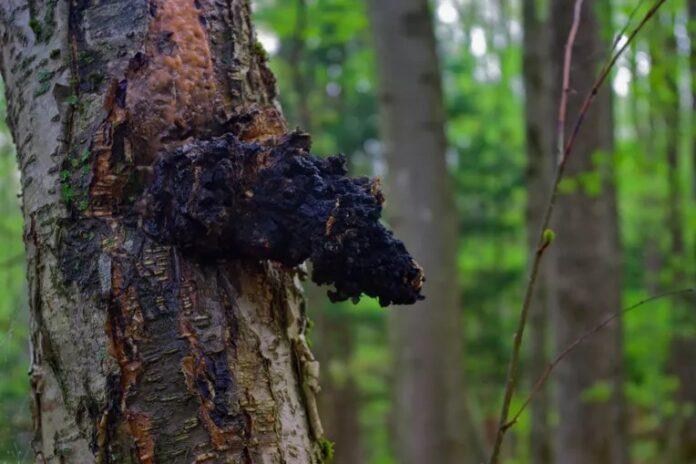 gljiva caga